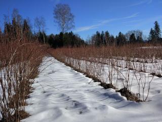 Heidelbeeren im Winter